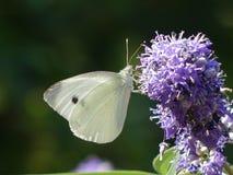 Blumen, Schmetterlinge, Montenegro, im August 2018 lizenzfreies stockfoto