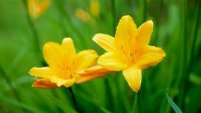 Blumen sind gelbe Lilien blühen im Sommer stock video