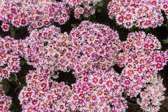 Blumen- sowie Währungsgartennelken des Dianthus chinensis verziert mit Blumen Es gibt nach Südeuropa gebürtig stockfotografie