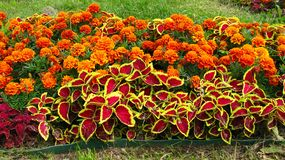 Blumen Tagetes lizenzfreies stockbild