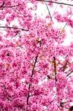 Blumen Tiger oder Kirschblüten blüht beim Thailand-Blühen Stockfotos