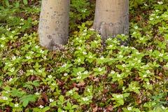 Blumen Twinflowers und des Bunchberry auf taiga Boden Stockfotografie