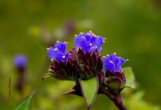 Blumen u. x28; Cynotis-tuberosa& x29; lizenzfreie stockfotos