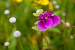 Blumen u. x28; Ungeduld Lawii& x29; stockbild