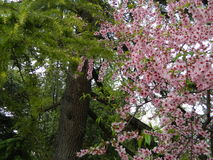 Blumen und acerose Lizenzfreie Stockfotos