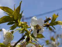 Blumen und Biene Lizenzfreie Stockbilder