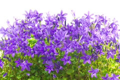 Blumen und Blätter Campanula Lizenzfreie Stockbilder