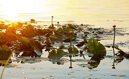 Lilie blüht am Sonnenuntergang mit Reflexionen auf dem Wasser Lizenzfreie Stockfotos