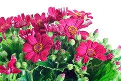 Blumen und Blätter Groundsel Stockfotografie
