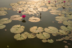 Blumen und Blätter Nymphaea Caerulea mit Sonnenschein in einem Teich herein Stockfotos
