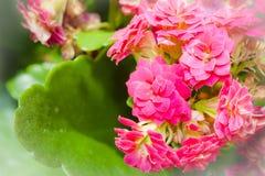 Blumen und Blätter von Kalanchoe Stockbild