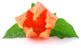 Blumen- und Fruchtwinterkirsche mit grünem Blatt Lizenzfreie Stockfotos
