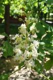 Blumen und geschlossene Knospen von Aesculus hippocastanum Lizenzfreies Stockbild