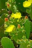 Blumen und grüne Knospen auf grünem Kaktus verlässt Stockfoto
