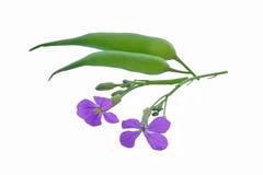 Blumen und Hülsen des wilden Rettichs stockbilder