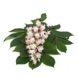 Blumen und junge Blätter der Kastanie lokalisiert Lizenzfreies Stockbild