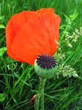 Blumen- und Knospemohnblume lizenzfreie stockbilder