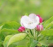 Blumen und Knospen Stockfoto