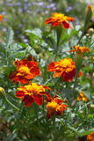 Blumen und Knospen Tagetesa Stockfoto