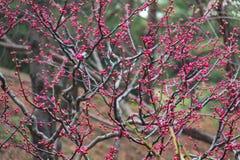 Blumen und Knospen von Kirschblüte auf einem Baum Lizenzfreies Stockbild