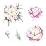 Blumen und Knospenpfingstrosen Aquarellillustration des Handabgehobenen betrages lizenzfreie abbildung