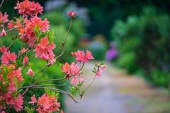 Blumen und Niederlassungen des Rhododendrons Lizenzfreie Stockfotos