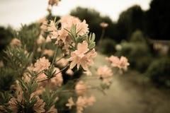 Blumen und Niederlassungen des Rhododendrons Lizenzfreie Stockbilder