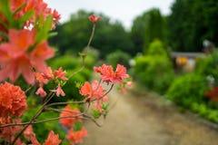 Blumen und Niederlassungen des Rhododendrons Lizenzfreie Stockfotografie