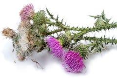 Blumen und Samen der Mariendistelanlage Stockfotos