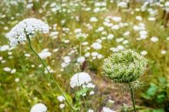 Blumen und Samenhülsen von Anlagen der wilden Karotte Stockfoto