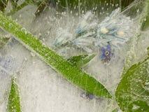 Blumen und schöne grüne Blätter im Eis Lizenzfreies Stockbild