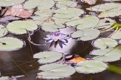 Blumen- und Seeroseblätter Lizenzfreie Stockfotos
