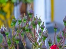Blumen ungefähr zum sich zu öffnen lizenzfreie stockfotos