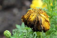 Blumen verwelkt Lizenzfreies Stockbild