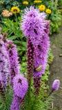 Blumen. Violett Natur pink stock image