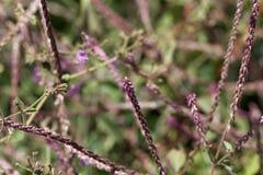 Blumen von Achyranthes-aspera Lizenzfreie Stockfotografie