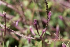 Blumen von Achyranthes-aspera Lizenzfreies Stockbild