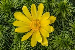 Blumen von Adonis, Stockbilder