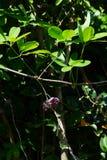 Blumen von Akebia-quinata Stockbilder