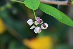 Blumen von Akebia-quinata Lizenzfreie Stockfotos