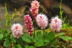 Blumen von Altai Lizenzfreies Stockfoto