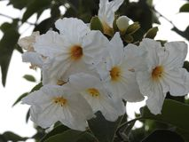 Blumen von Anacua, vom mexikanischen Nordosten lizenzfreie stockfotografie