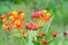 Blumen von Asclepias curassavica Lizenzfreie Stockbilder