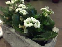 Blumen von Belgien Lizenzfreies Stockbild