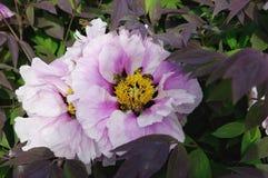 Blumen von blassem - rosa Pfingstrose Stockfotos
