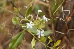 Blumen von Ceylon-Leadwort Bleiwurz zeylanica Lizenzfreie Stockfotografie