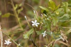 Blumen von Ceylon-Leadwort Bleiwurz zeylanica Stockbild