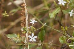 Blumen von Ceylon-Leadwort Bleiwurz zeylanica Lizenzfreie Stockfotos