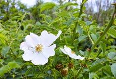 Blumen von Cistus Stockbild