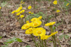 Blumen von Coltsfoot auf blattlosem Stiel Gelbe Frühlingsprimeln lizenzfreie stockfotografie